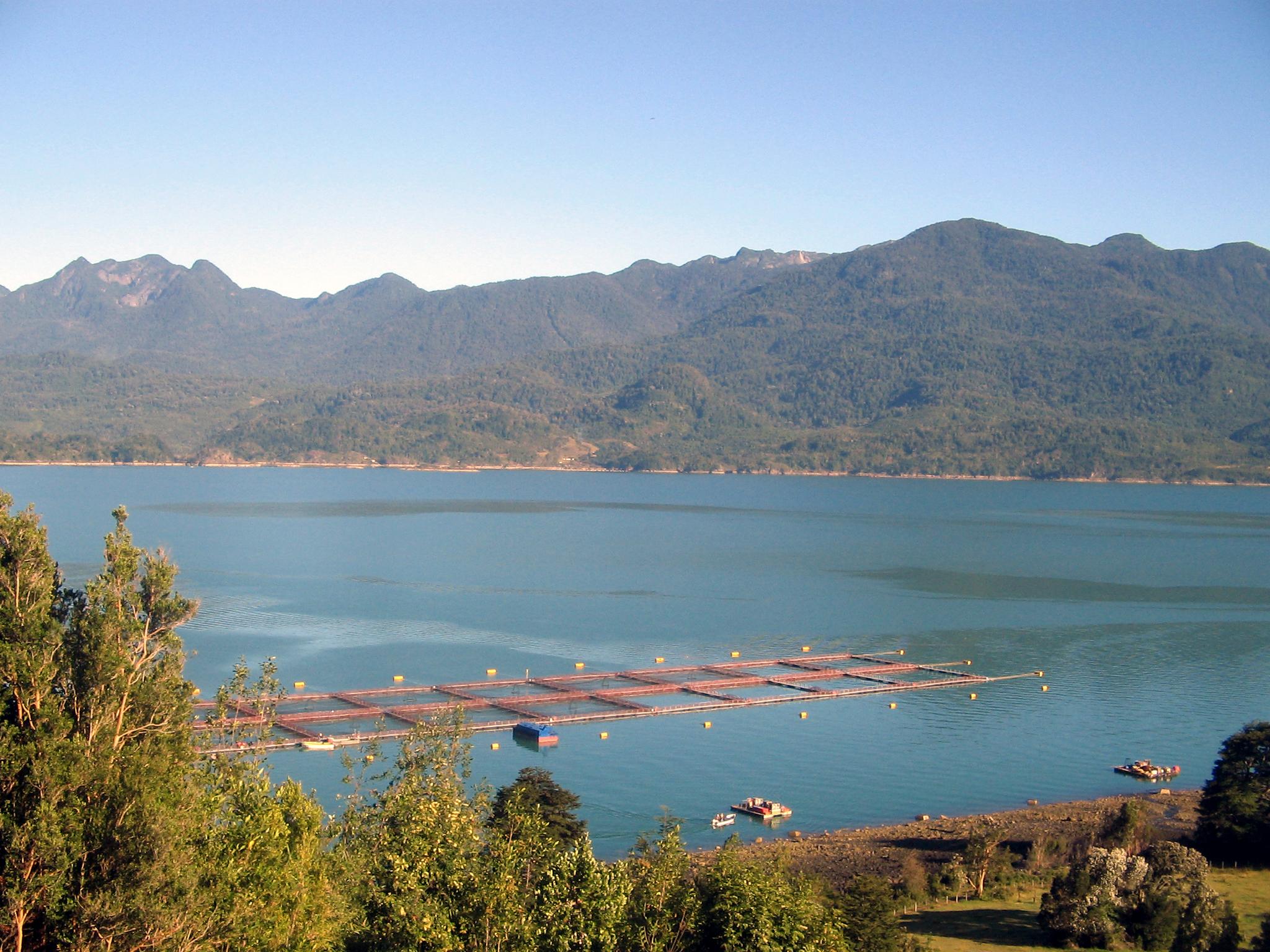 Una fuga de casi 700 mil salmones en Chile alarma a ambientalistas