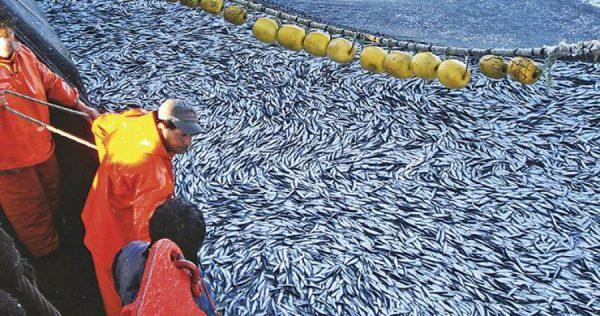 Inician proceso sancionatorio contra 4 agrupaciones por pasar cuota de pesca de sardina y anchoveta