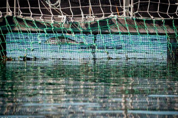 Buscan que salmonicultoras destinen 3% de sus ganancias para medir impactos