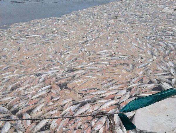Mortandad de salmones en Chiloé mantiene preocupada a comunidades de Castro y Chonchi