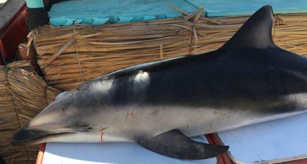Presentan denuncia por muerte de 20 delfines en Antofagasta