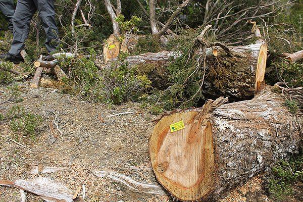 Conaf denuncia tala ilegal de177 alerces en Región de Los Lagos